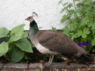 Tama-Påfågelhöna