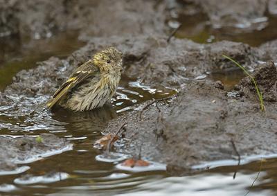 Grönsiska i badet. Foto: Anders Åkesson
