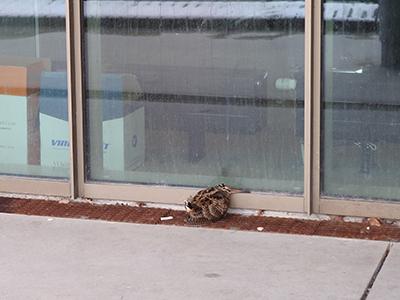 Foto: En av månadens åtta morkullor. Och en av tre som klarade sig!