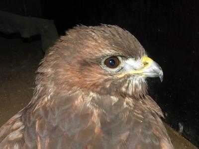 En av ormvråkarna, en äldre mycket svag individ, som inte klarade sig. Det djupt bruna ögat avslöjar att det inte är en yngre fågel.