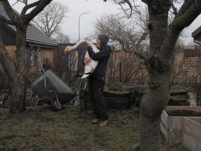 Foton: Sångsvanen landade i en trädgård i Löddesnäs...